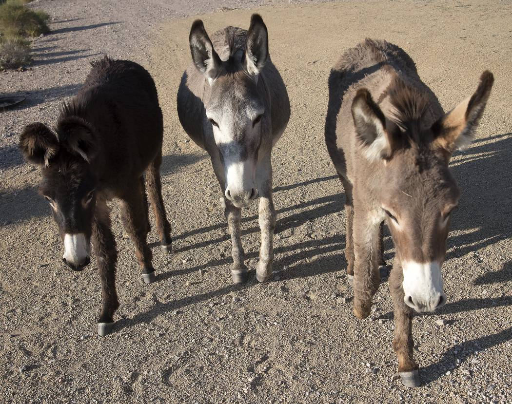 Richard Stephens/Special to the Pahrump Valley Times The bureau will be setting trap pens in July to capture 300 burros, which will be transported to a holding facility in Utah, where they will be ...