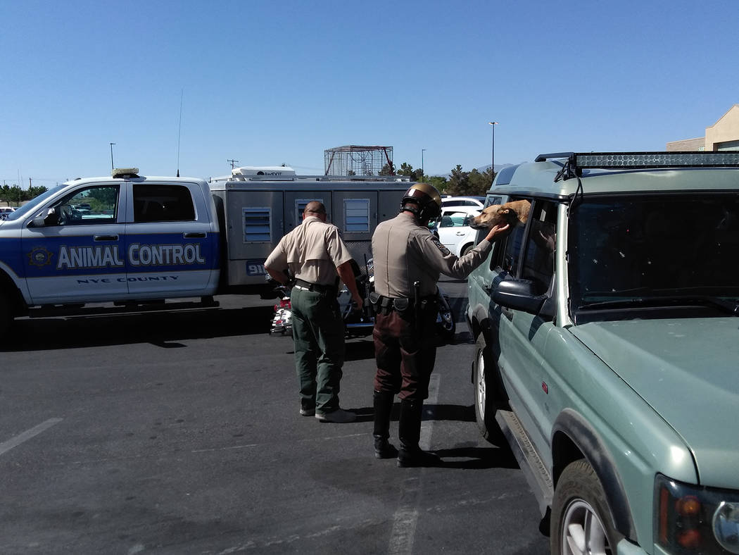 Selwyn Harris/Pahrump Valley Times A Nye County Sheriff's Office deputy comforts a dog that left inside a vehicle in the Walmart parking lot on Tuesday June 26. At the time, the interior temperatu ...