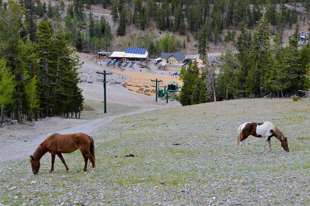 Lee Canyon/Special to the Pahrump Valley Times Feral horses are a common sight during the summers at Lee Canyon Ski & Snowboard Resort.