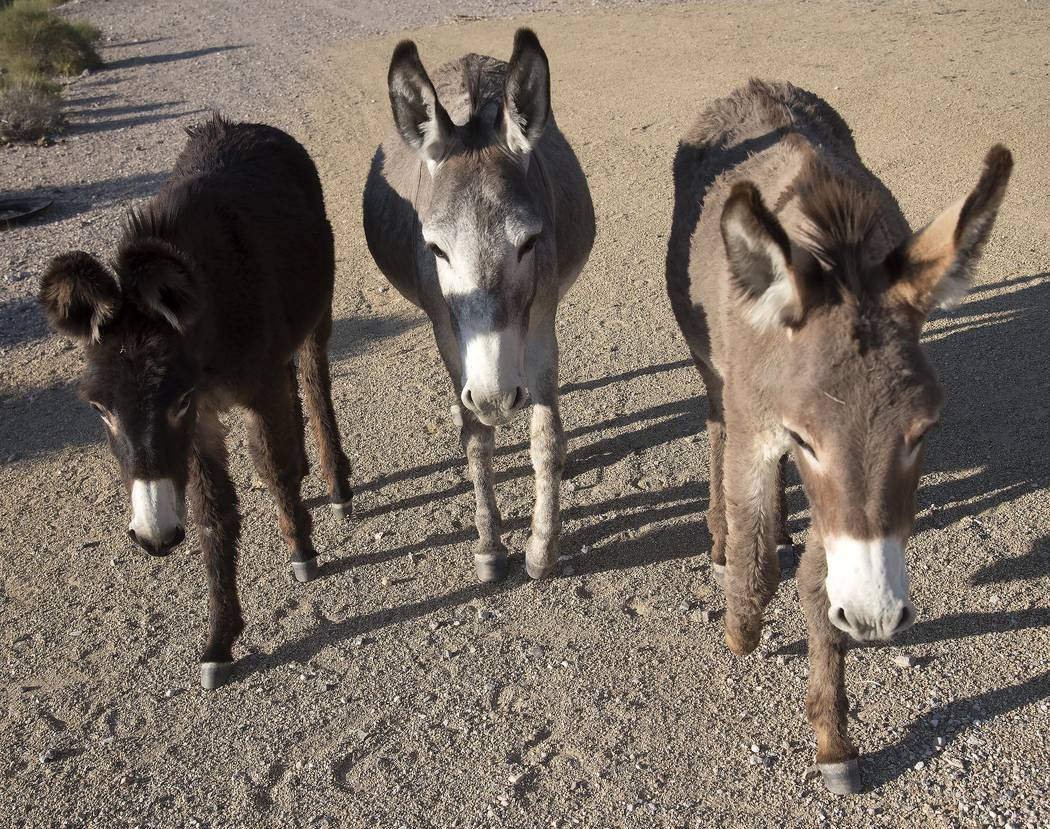 Richard Stephens/Special to the Pahrump Valley Times The U.S. Bureau of Land Management is setting up temporary water and bait traps to capture 300 burros, which will be transported to a holding f ...