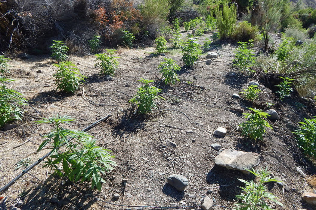 Marijuana plants grow in a remote canyon at the heart of Death Valley National Park, where authorities raided the illicit operation on July 3. National Park Service