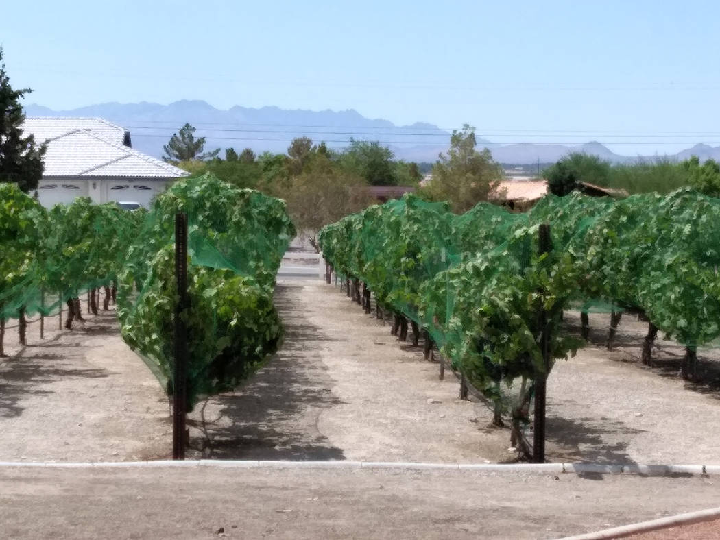 Selwyn Harris/Pahrump Valley Times A California sprawl trellis system is one method to keep Pahrump Valley Winery's grape vineyards safe and healthy during the brutal summers in southern Nevada. R ...