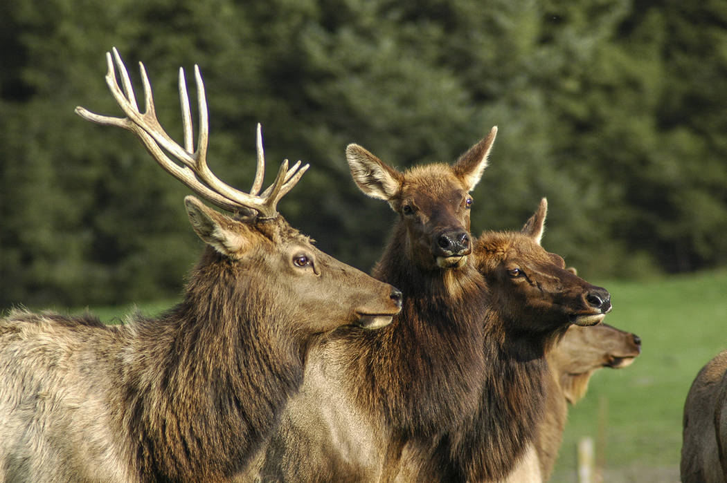 Thinkstock The Rocky Mountain Elk Foundation's Tonopah Chapter will hold its annual banquet Aug. 25 at the Tonopah Convention Center.