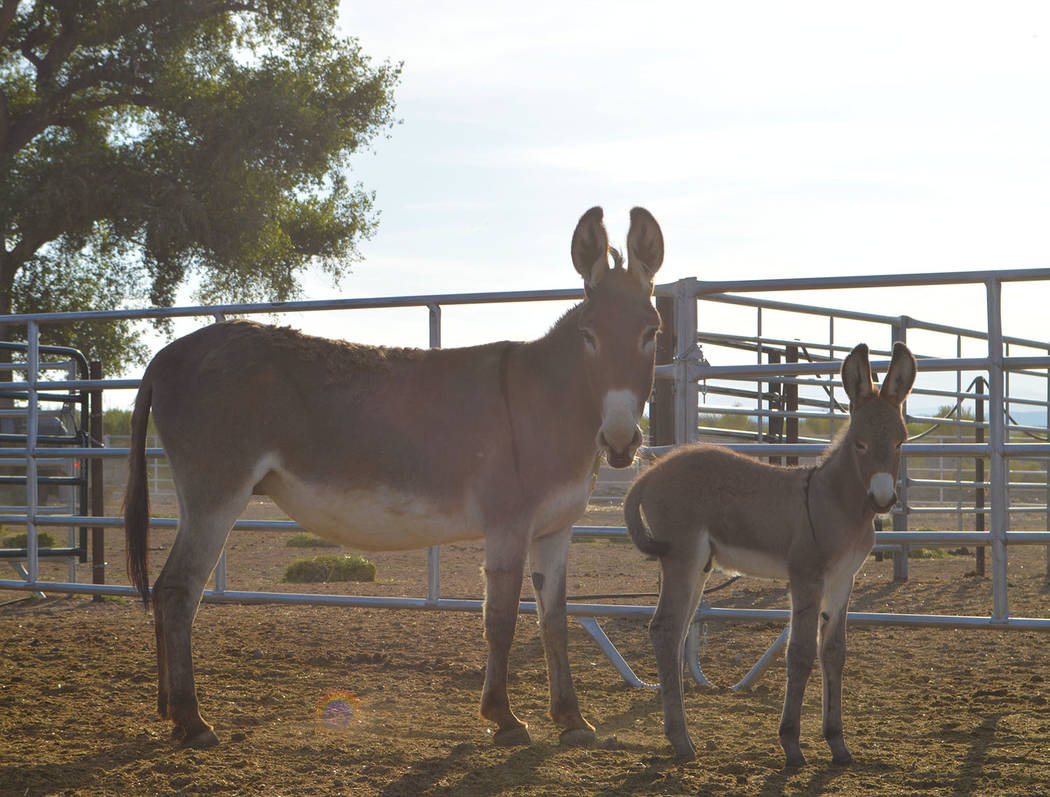 Photo courtesy of BLM Upon their arrival to the Utah facility, the burros were examined, vaccinated and dewormed by a veterinarian. Following that process, BLM officials said the animals will be a ...