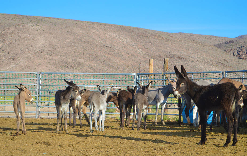 Photo courtesy of BLM BLM officials said the wild burros in the Bullfrog Herd Management Area have been impacting private lands and creating public health and safety issues as the travel near road ...