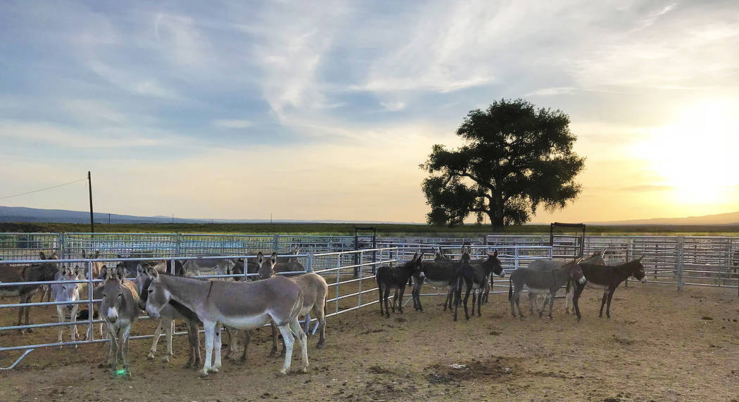 Photo courtesy of BLM On July 24, officials with the Bureau of Land Management, Tonopah Field Office concluded the 2018 Bullfrog Wild Burro Gather, where the BLM gathered and removed 404 wild burr ...