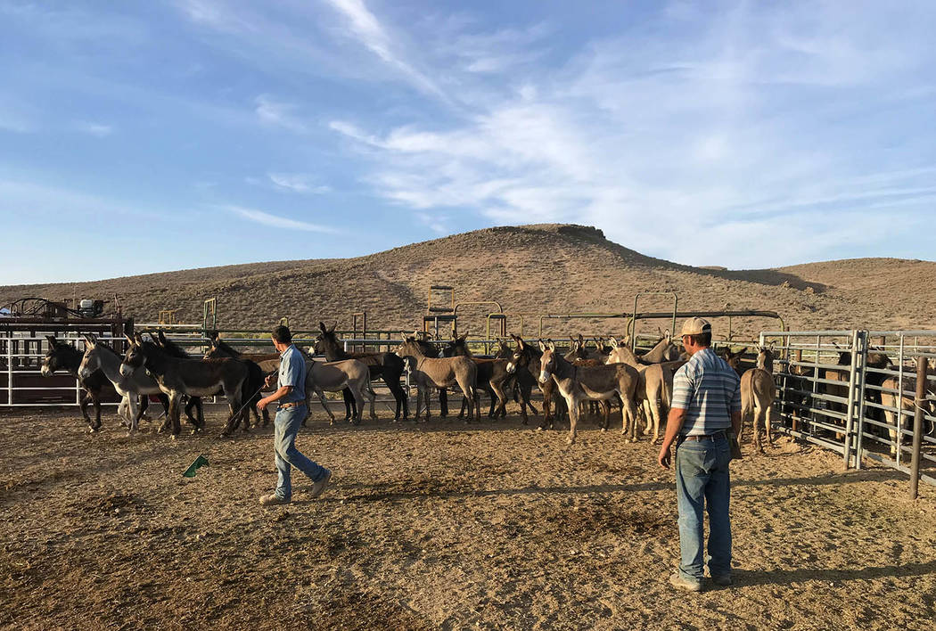 Photo courtesy of BLM As of March 1 of 2018, BLM officials noted that were approximately 672 wild burros living in the Bullfrog HMA. Among the 404 burros gathered this month, 207 were males, 138 w ...