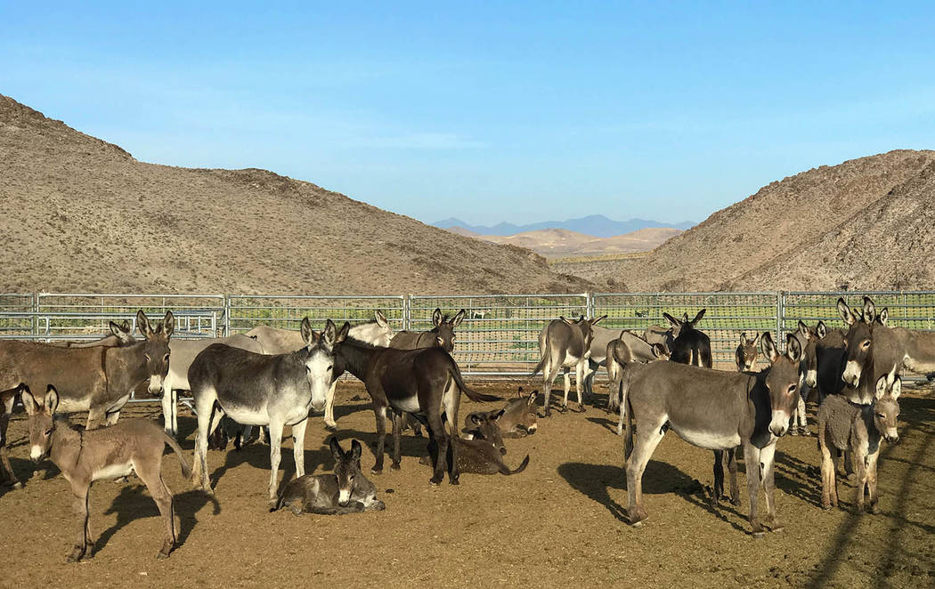 Photo courtesy of BLM After gathering more than 400 burros gathered from public and private lands at areas close to US 95 in Nye County this month, the animals were transported to the Axtell Contr ...