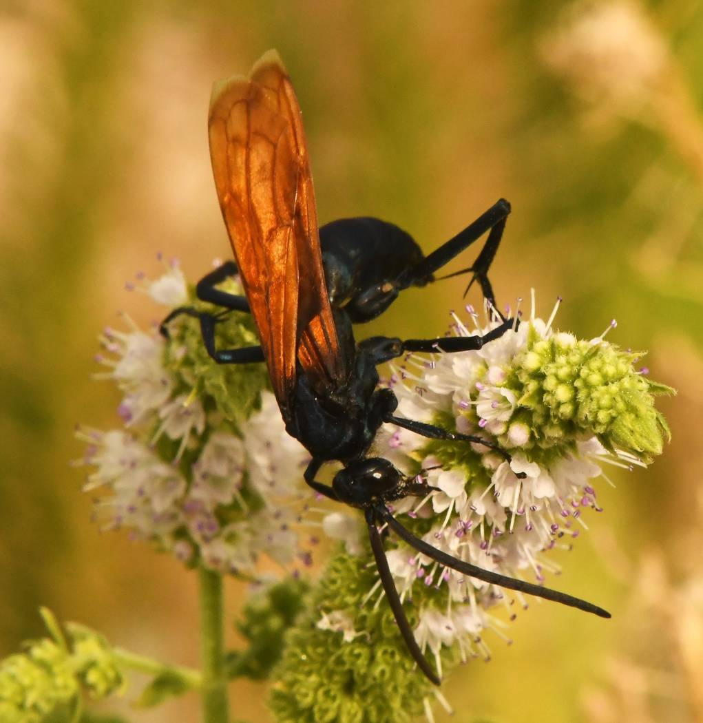 Richard Stephens/Special to the Pahrump Valley Times Tarantula hawks seem to enjoy feeding on the nectar of feathery flowers.