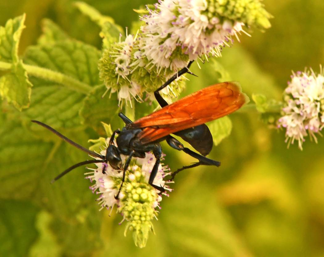 "Richard Stephens/Special to the Pahrump Valley Times The sting of the tarantula hawk is described as, ""Blinding, shockingly electric; a running hair drier has been dropped into your bubble bath."""