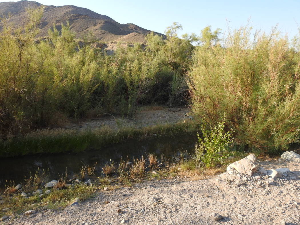 Tamarisk plants shown growing in and around the Amargosa River just outside the Nye County town of Beatty in this file photo. The Nature Conservancy bought the environmentally sensitive land in 20 ...