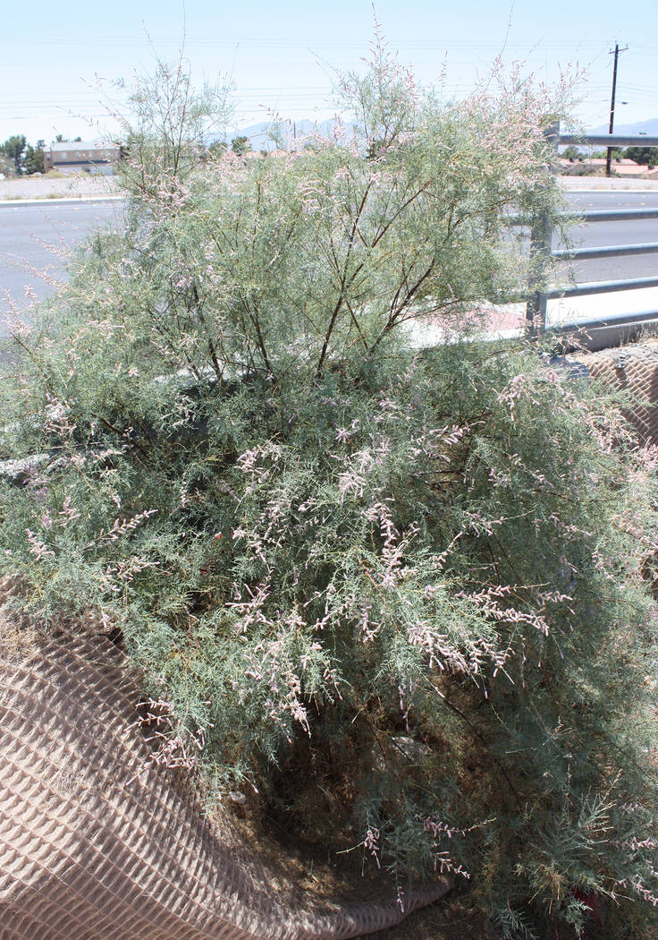 Robin Hebrock/Pahrump Valley Times A salt cedar in bloom grows at the intersection of Highway 372 and West Street in Pahrump, as seen in this August 6 photo.