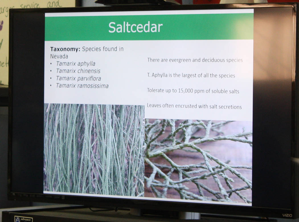 Robin Hebrock/Pahrump Valley Times An informational powerpoint presentation prepared for the saltcedar control workshop helped detail the basics about the varieties of saltcedar found in Nevada.