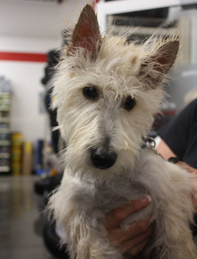Robin Hebrock/Pahrump Valley Times Perky and alert, this local pet was squeaky clean after a good scrubbing by the members of the Pahrump 4H Canine Club. His owners were happy to donate to the clu ...