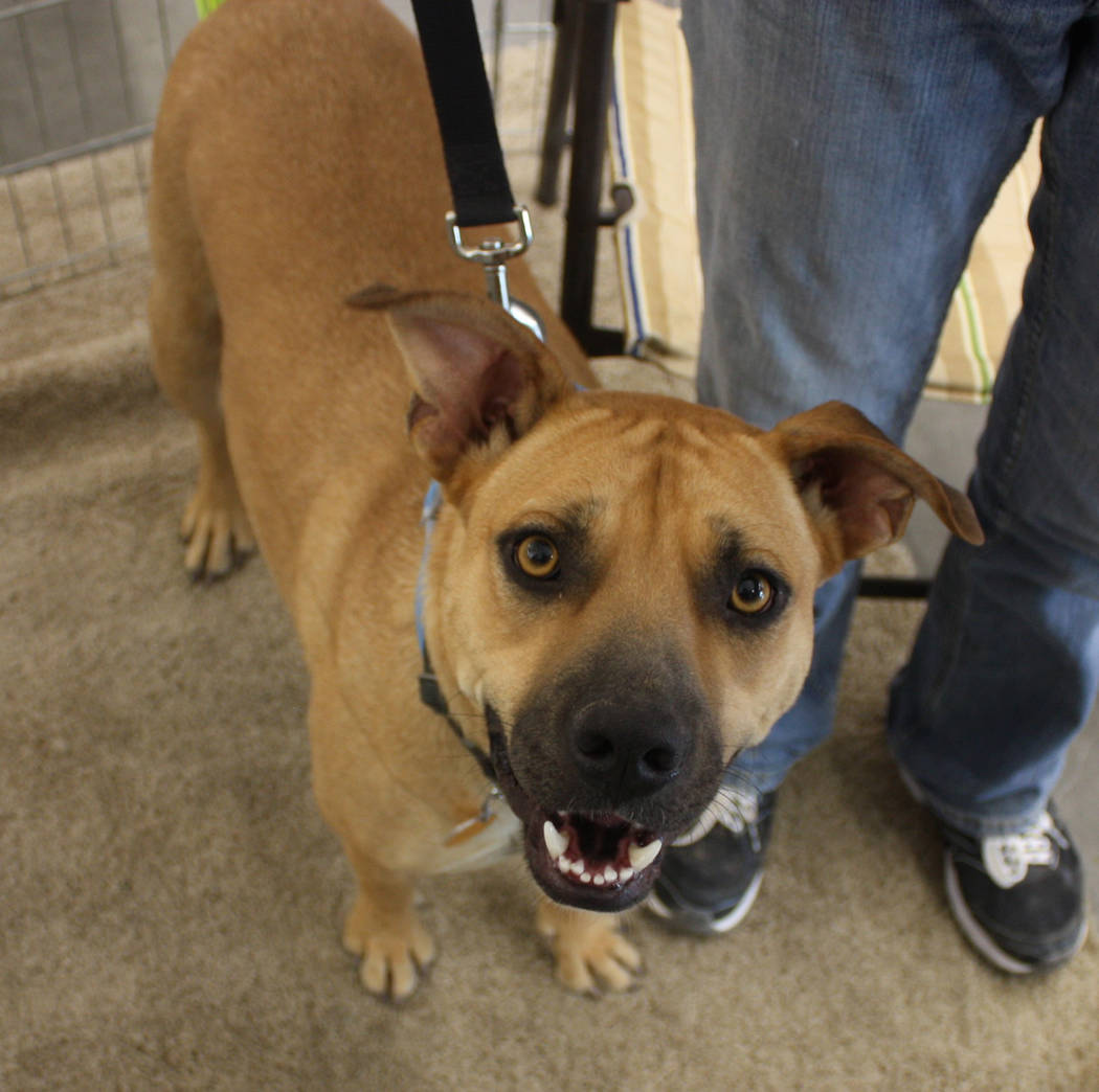 Robin Hebrock/Pahrump Valley Times The bright, happy smile of Maggie, a two-year-old boxer mix, captured the heart of an Out Here With Animals attendee, who fell in love and decided to make her a ...