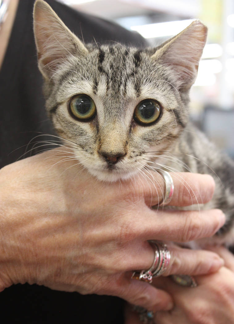 Robin Hebrock/Pahrump Valley Times Trixie, a young kitten, was another of the success story to come out of the pet adoptions hosted during the Out Here With Animals event.