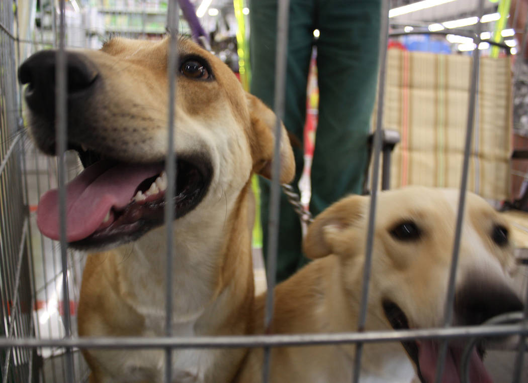 Robin Hebrock/Pahrump Valley Times West Star Animal Rescue canines Thelma and Louise are both still searching for their forever homes.