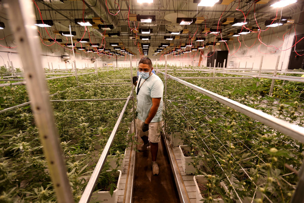 Exhale Nevada marijuana dispensary director of cultivation Abraham Ballantine checks one of the grow rooms at his Las Vegas facility, Thursday, June 28, 2018. K.M. Cannon Las Vegas Review-Journal ...