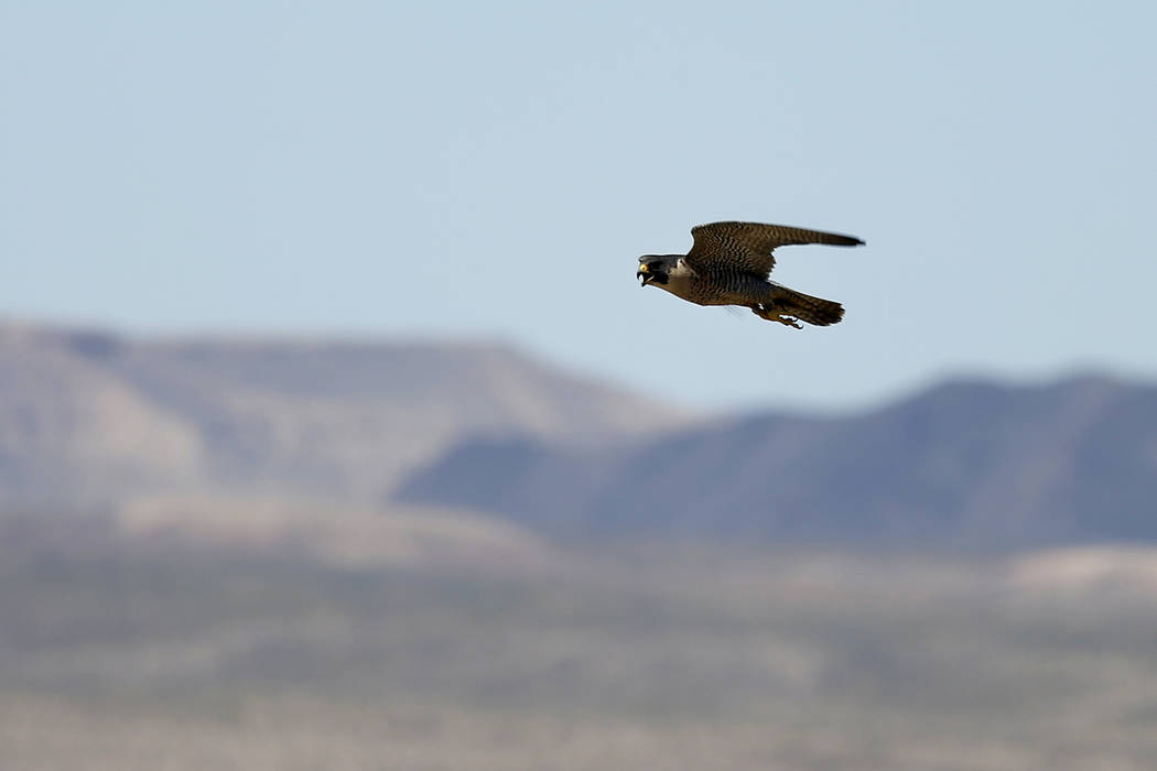 Andrea Cornejo/Las Vegas Review-Journal An adult peregrine falcon circles near its nest on a ledge overlooking Lake Mead. The Nevada Department of Wildlife is seeking nominations for this year's W ...