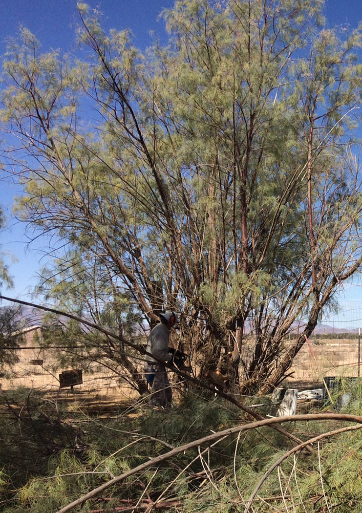 Robin Hebrock/Pahrump Valley Times West Star Animal Rescue volunteer Courtney Oster is shown in the thicket of a salt cedar located on the ranch's property, busily dismantling the tree with chains ...