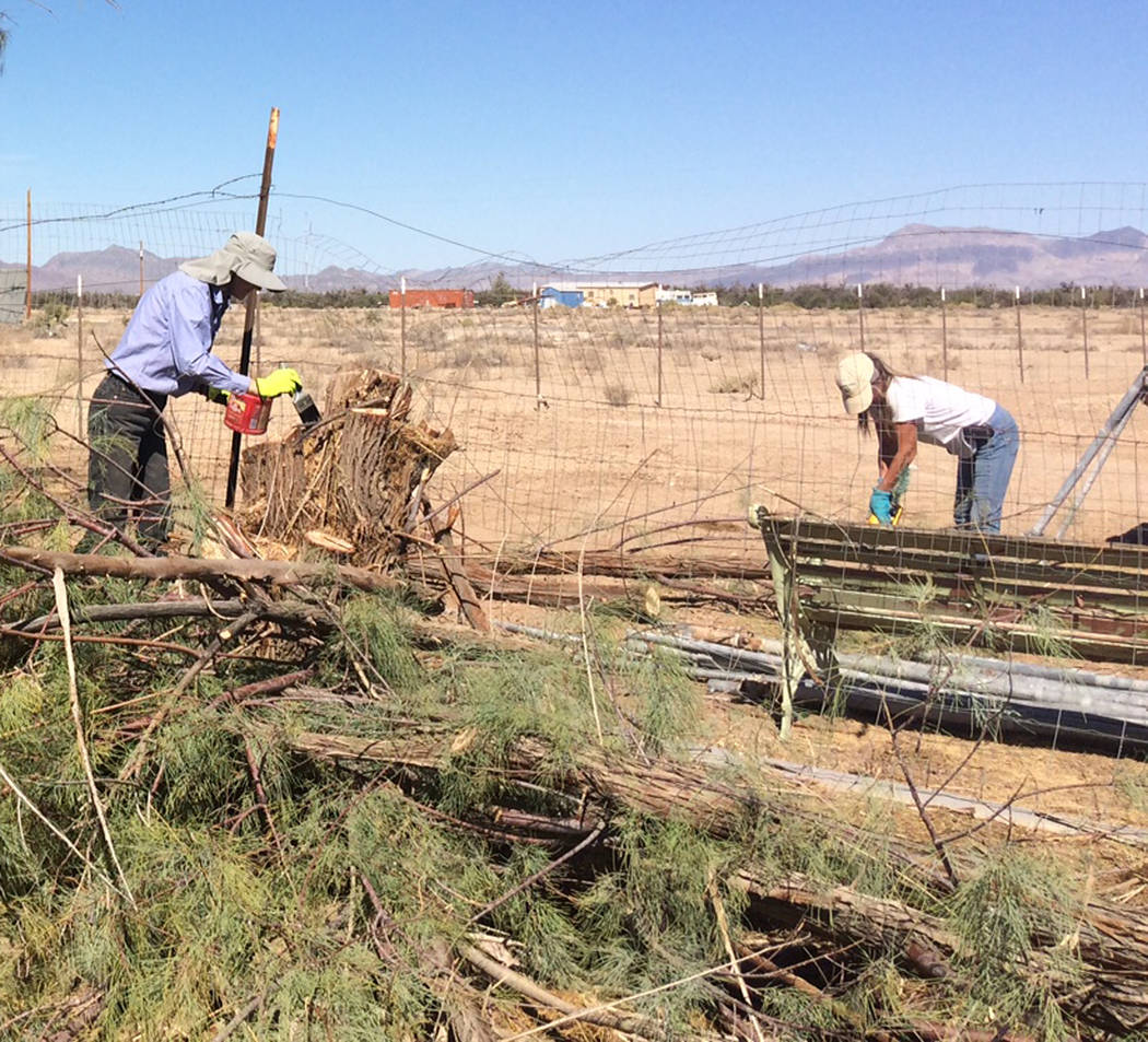Robin Hebrock/Pahrump Valley Times West Star Animal Rescue ranch manager Heidi Wells, at right, is pictured removing brush and branches from the area where a salt cedar stump remains, while volunt ...