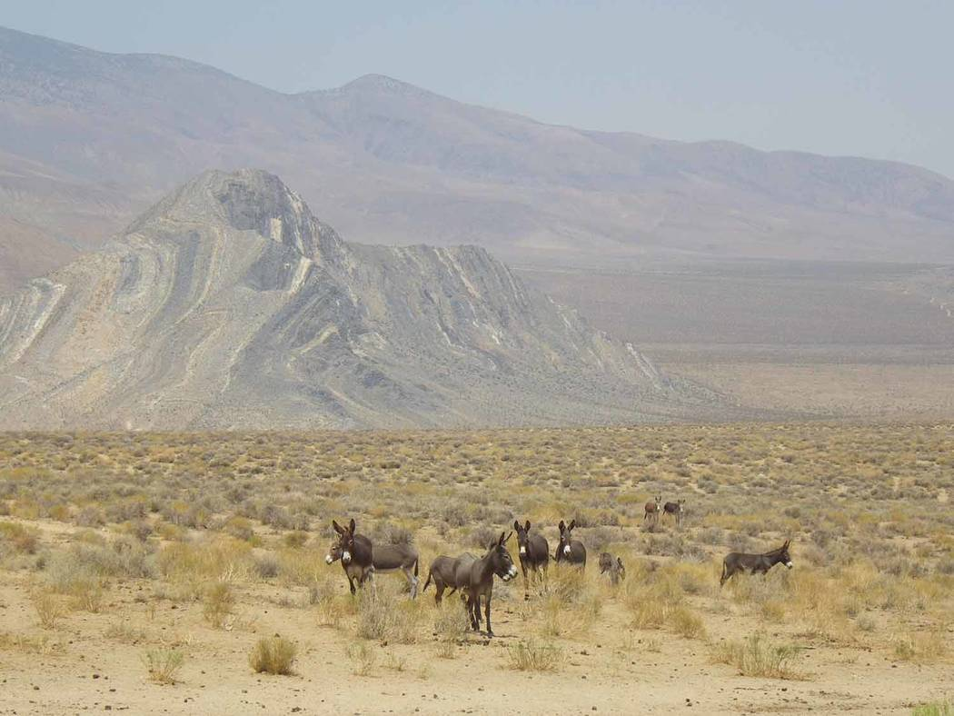 Mark Meyers/Special to the Pahrump Valley Times Death Valley's burros are descended from domestic animals released into the wild. Many were released by mining prospectors, and today many people ...