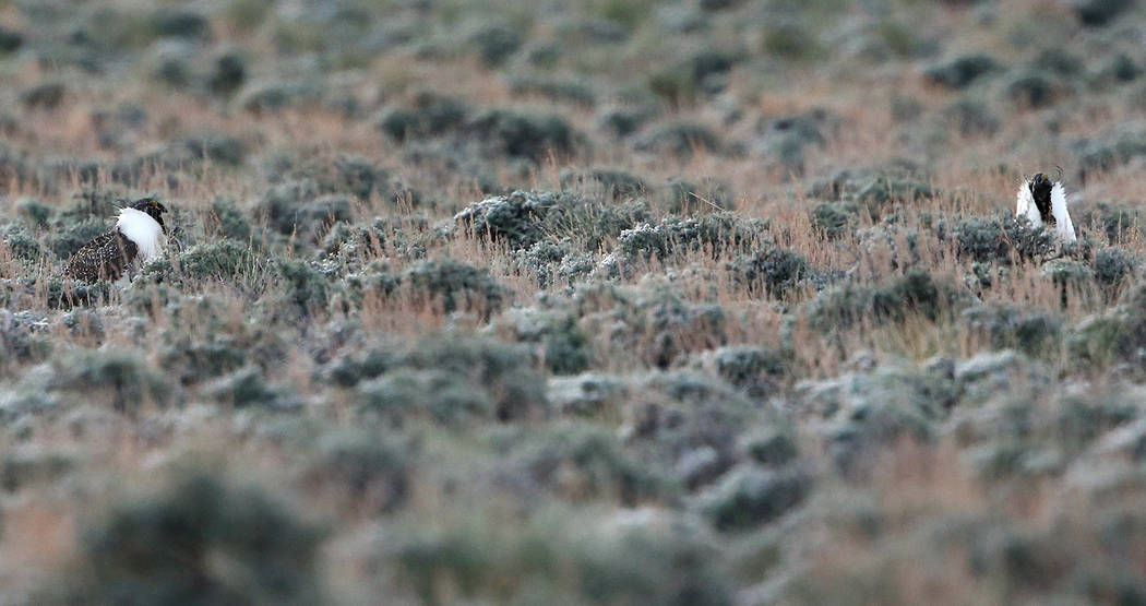 Male bi-state sage grouse wander their mating grounds, known as a lek, near Smith Valley, Nev., on Thursday, March 31, 2016. Cathleen Allison/Las Vegas Review-Journal