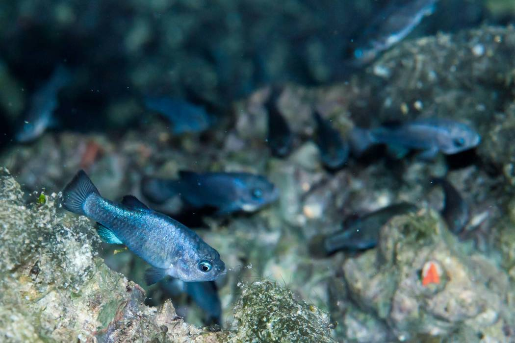 Endangered Devils Hole pupfish swim in their water-filled cavern 90 miles west of Las Vegas in 2011. (National Park Service)