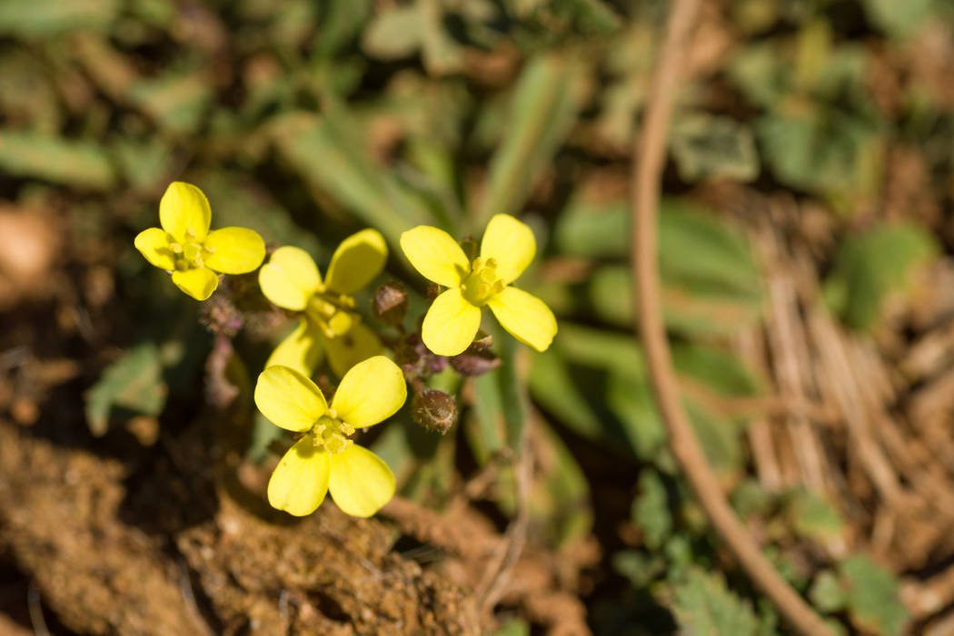 Thinkstock Sahara mustard is yet another noxious weed that Tri-County Weed Control aims to curb the spread of through its outreach, education, inventory and treatment efforts.