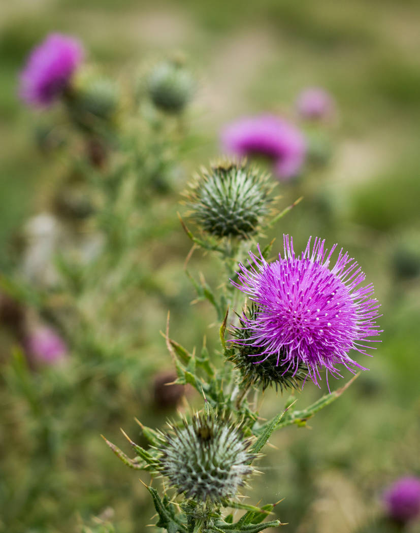 Thinkstock The bright pink flower head of a scotch thistle may look pretty to some but this is considered a noxious weed in the State of Nevada.