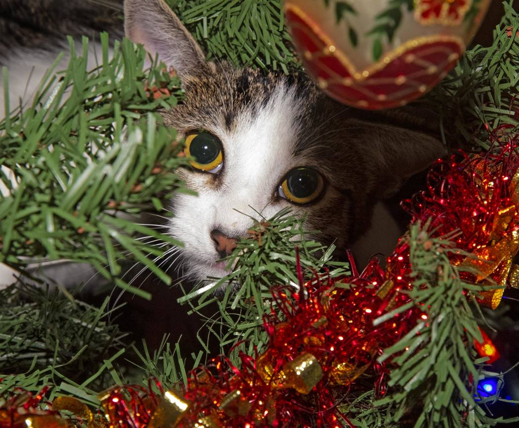 Richard Stephens/Special to the Pahrump Valley Times No, it's not a partridge in a pear tree, it's a very active kitten named Zazzles, a family pet, doing his best to pose as a Christmas ornament.