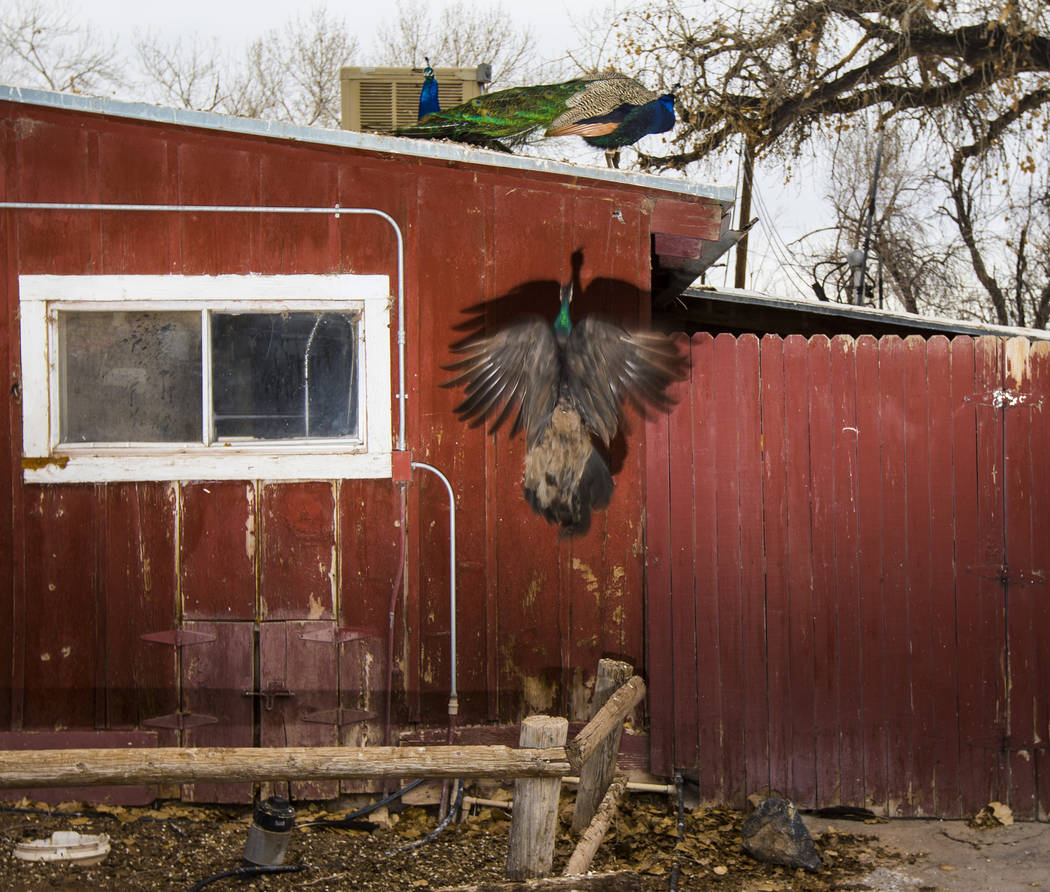 Peacocks at Bonnie Springs Ranch outside of Las Vegas on Saturday, Jan. 12, 2019. The ranch is under contract to be sold and demolished for luxury home lots. Chase Stevens Las Vegas Review-Journal ...