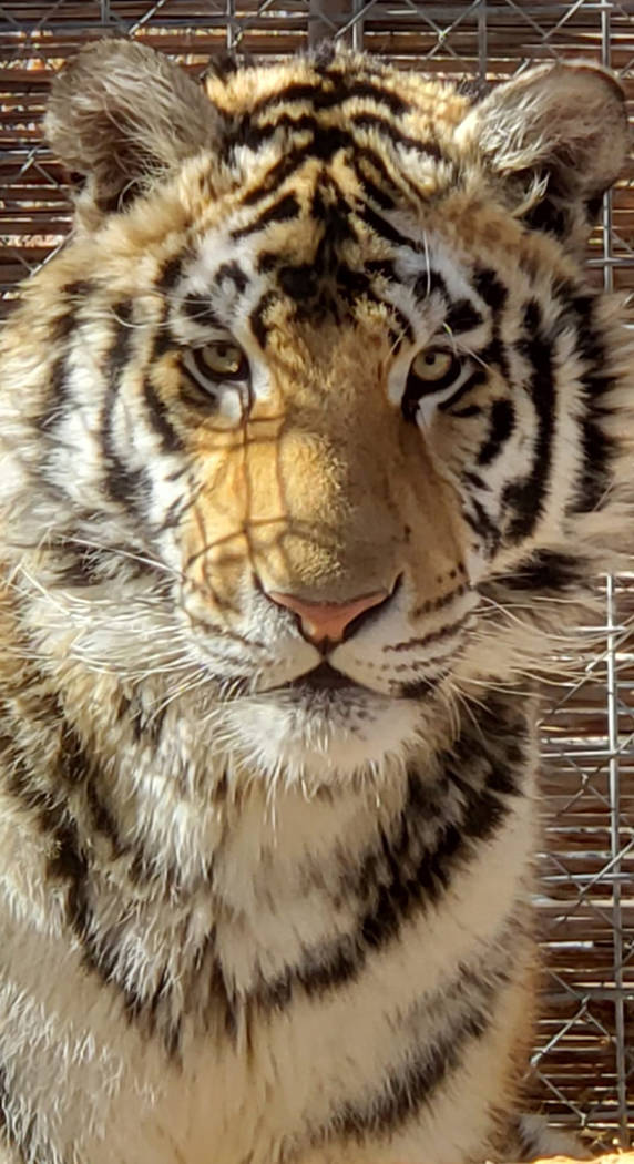 Special to the Pahrump Valley Times Taken by Kayla Mitchell, this photo shows a tiger named Abraham, one of the 10 tigers owned by Kayla and Karl Mitchell.
