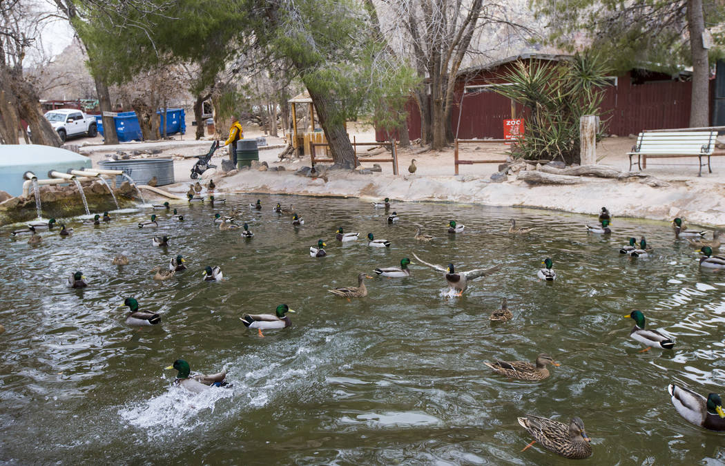 Ducks relax in a pond at Bonnie Springs Ranch outside of Las Vegas on Saturday, Jan. 12, 2019. The Clark County Planning Commission early Wednesday, Feb. 20, 2019, unanimously approved a plan to b ...