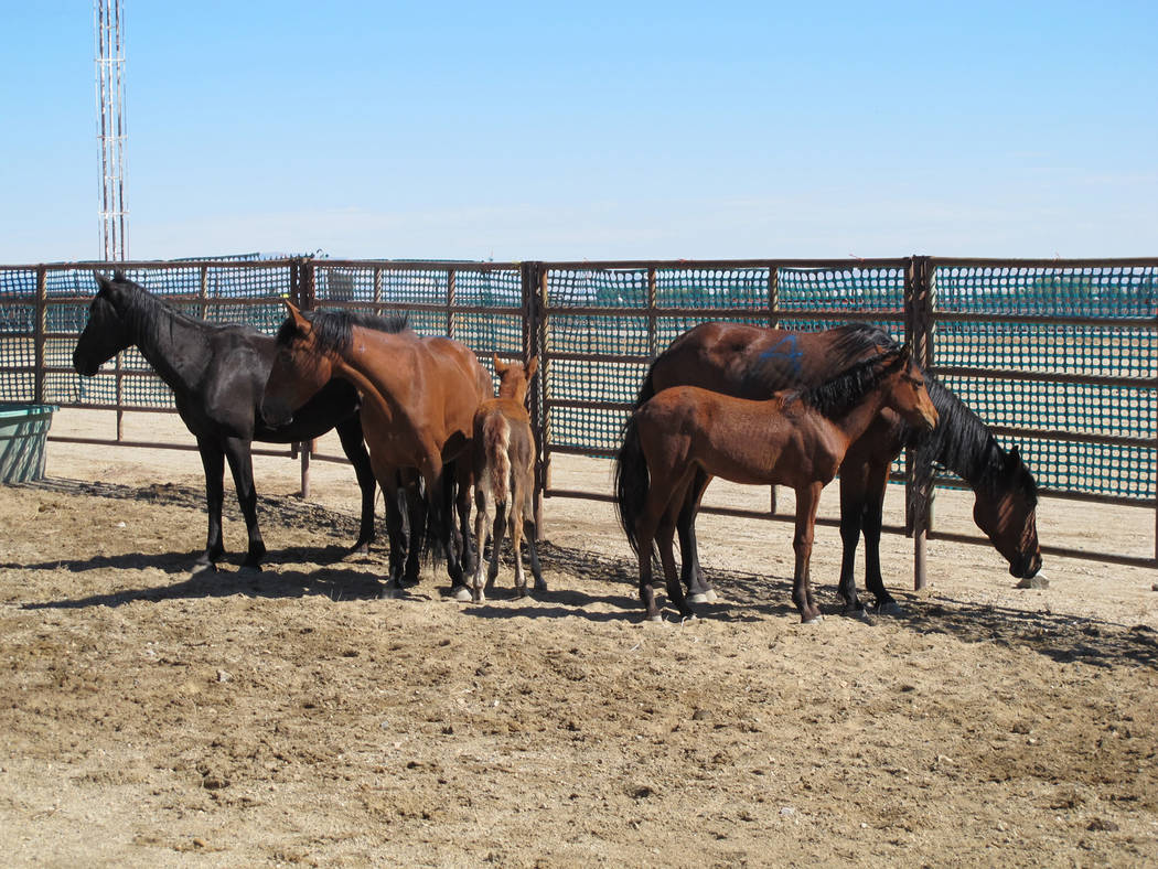 """Special to Pahrump Valley Times Symptoms of the equine virus include fever, cough and runny nose. Horse owners are advised to excercise """"biosecurity."""" The term is defined as doing everything possi ..."""