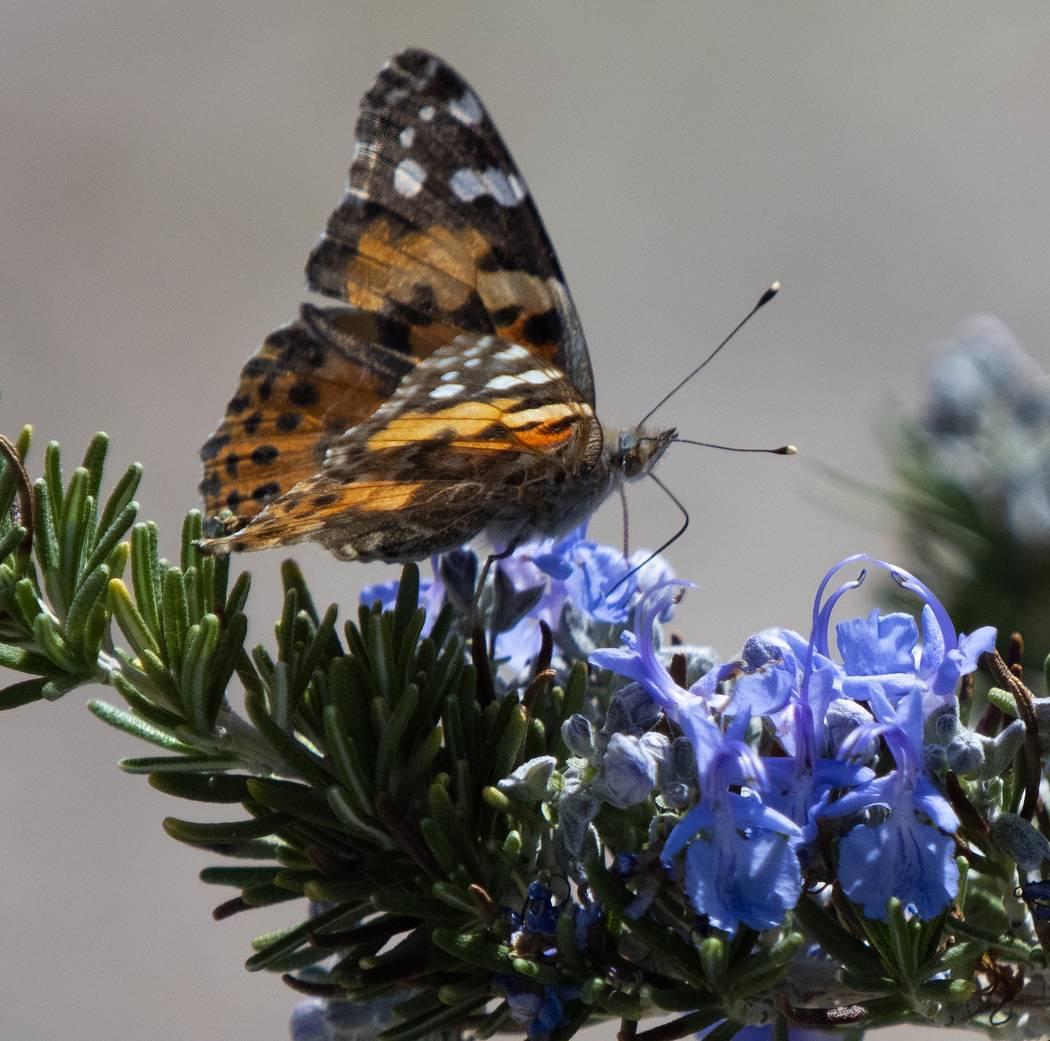 Richard Stephens / Special to the Pahrump Valley Times This year the migration of the painted ...