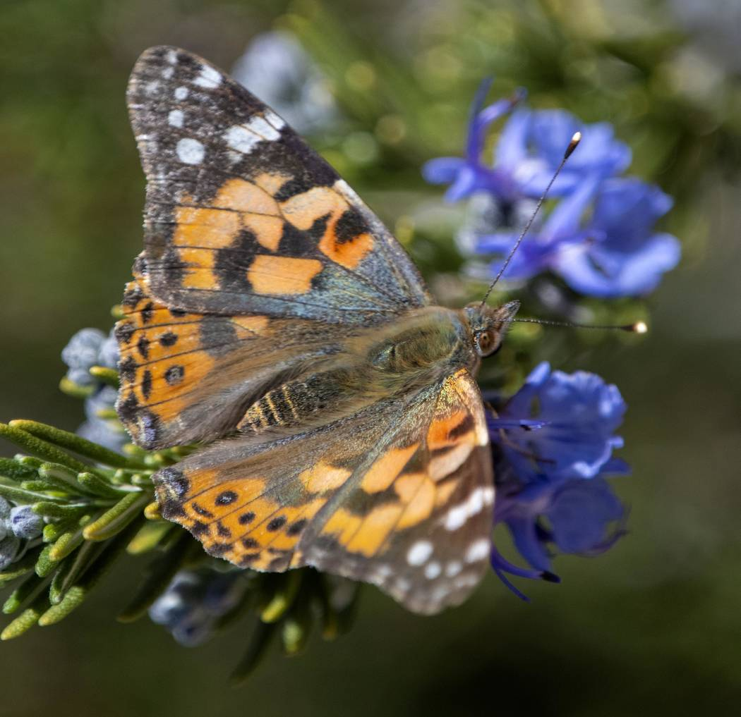 Richard Stephens / Special to the Pahrump Valley Times Thistles are the painted lady's food o ...