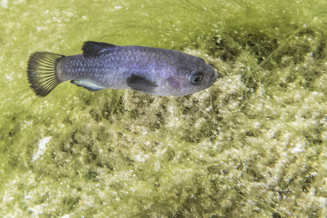 Death Valley National Park The official result of the recent survey, 136 observable pupfish, is ...