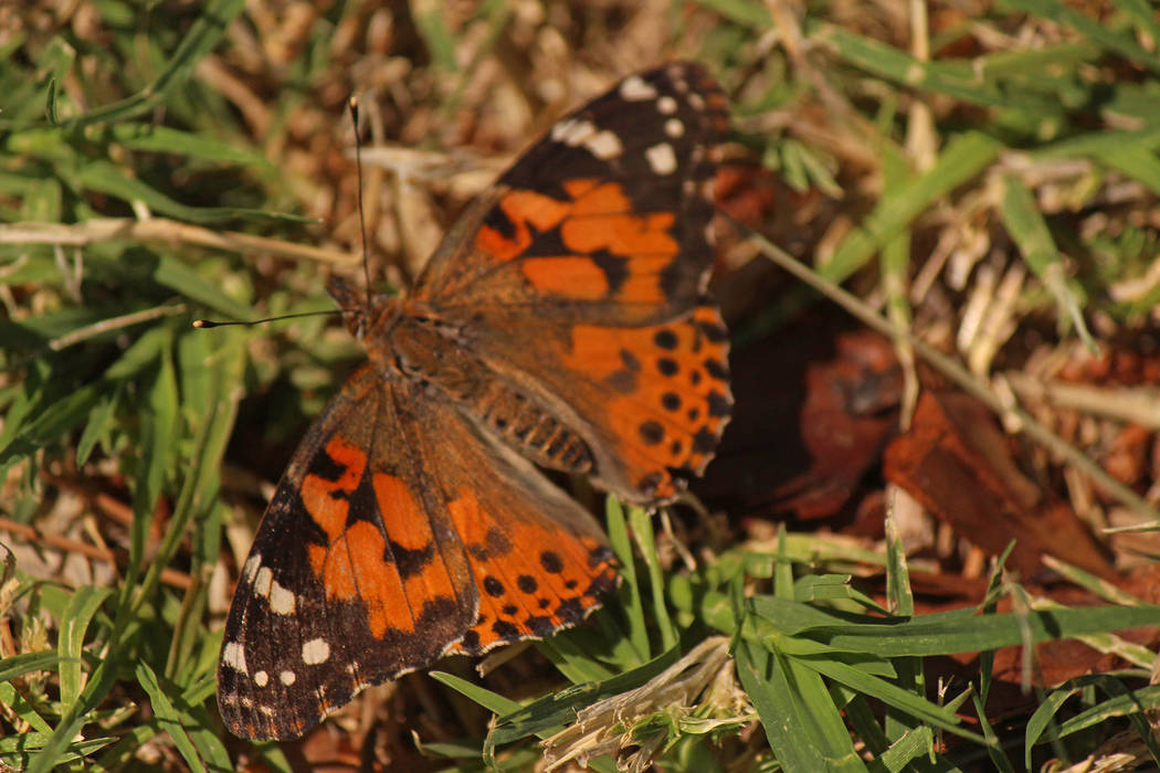 Jeffrey Meehan/Pahrump Valley Times The butterflies were released in remembrance of lost loved ...