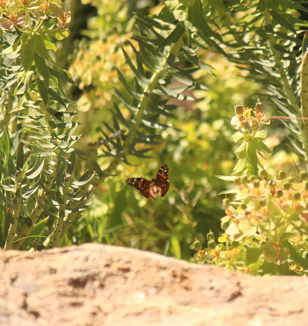 Jeffrey Meehan/Pahrump Valley Times Butterflies were released, at the end of April at the Calva ...