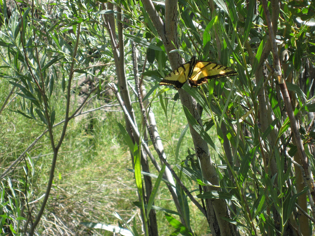 Special to the Pahrump Valley Times Cloverdale Creek provides a source of water and habitat for ...