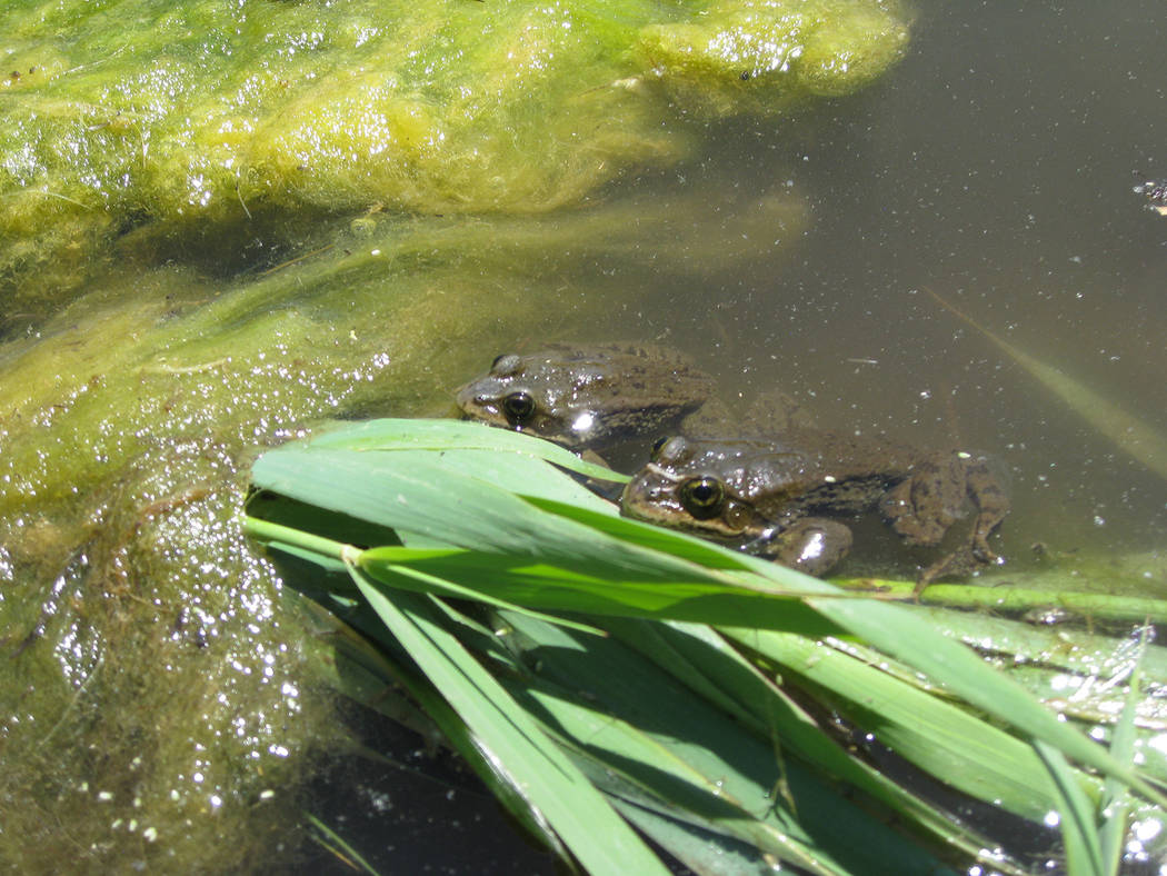 Special to the Pahrump Valley Times Frogs and toads are common species found in Nevada's wetlan ...