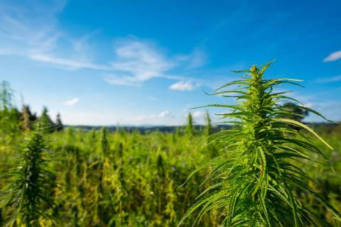 Getty Images MJ Holdings Inc., a publicly-traded holding company involved in the Nevada cannabi ...