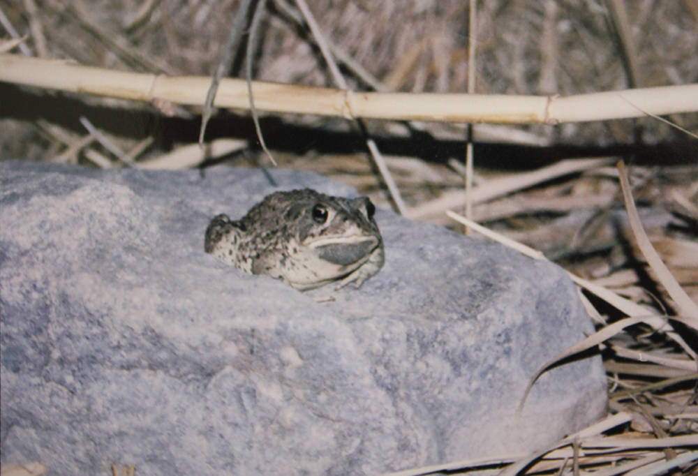 Special to the Pahrump Valley Times Taken a few years ago, this photo shows the adult western toad.