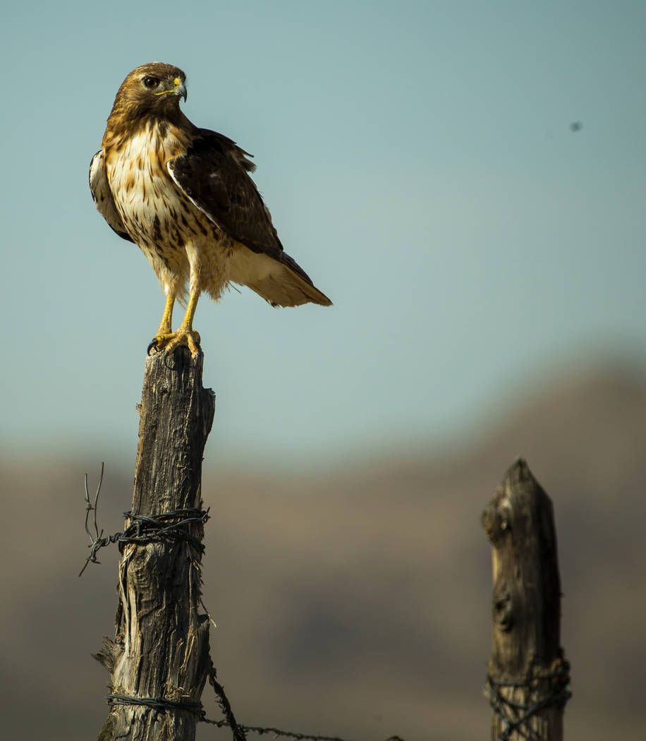 L.E. Baskow/Las Vegas Review-Journal A hawk perches on a fence post near the Jean dry lake bed ...