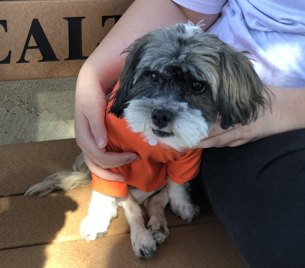 """Tom Rysinski/Pahrump Valley Times Special-needs dog Charlie wears an """"Adopt Me"""" sweater in the ..."""