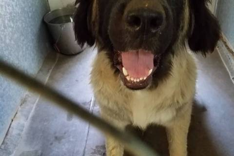 Special to the Pahrump Valley Times Ena is a very large but very sweet Russian Mountain dog mix ...