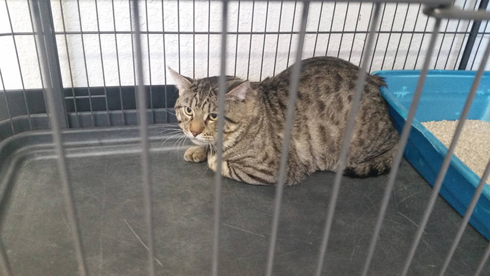 Special to the Pahrump Valley Times This male cat is one of three felines brought in as owner-s ...