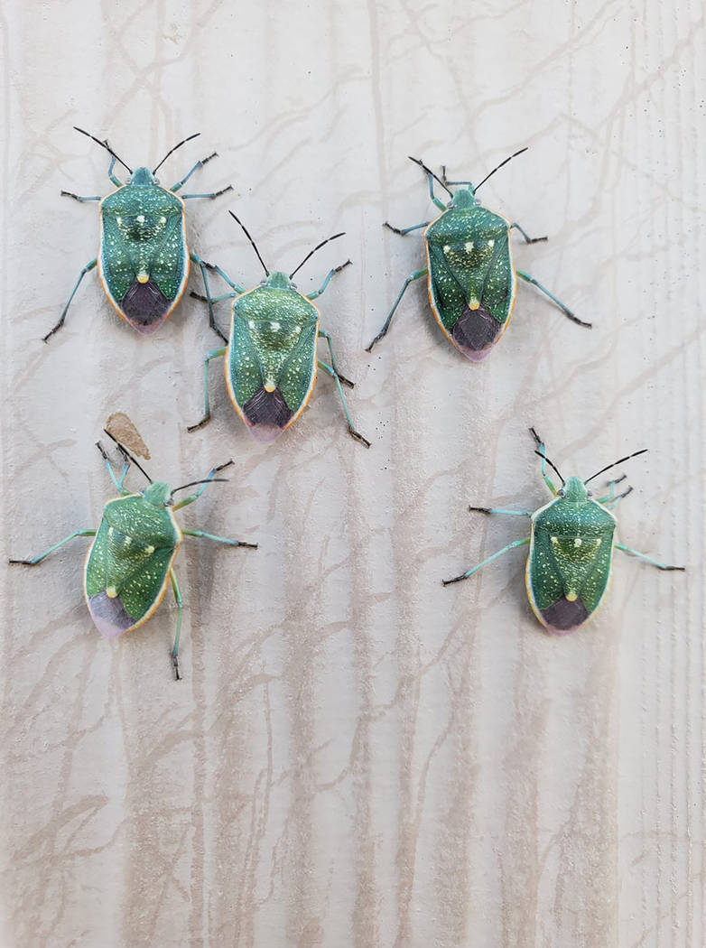 Moriah Azoulai/Special to the Pahrump Valley Times A look at the stink bugs as shown in a photo ...