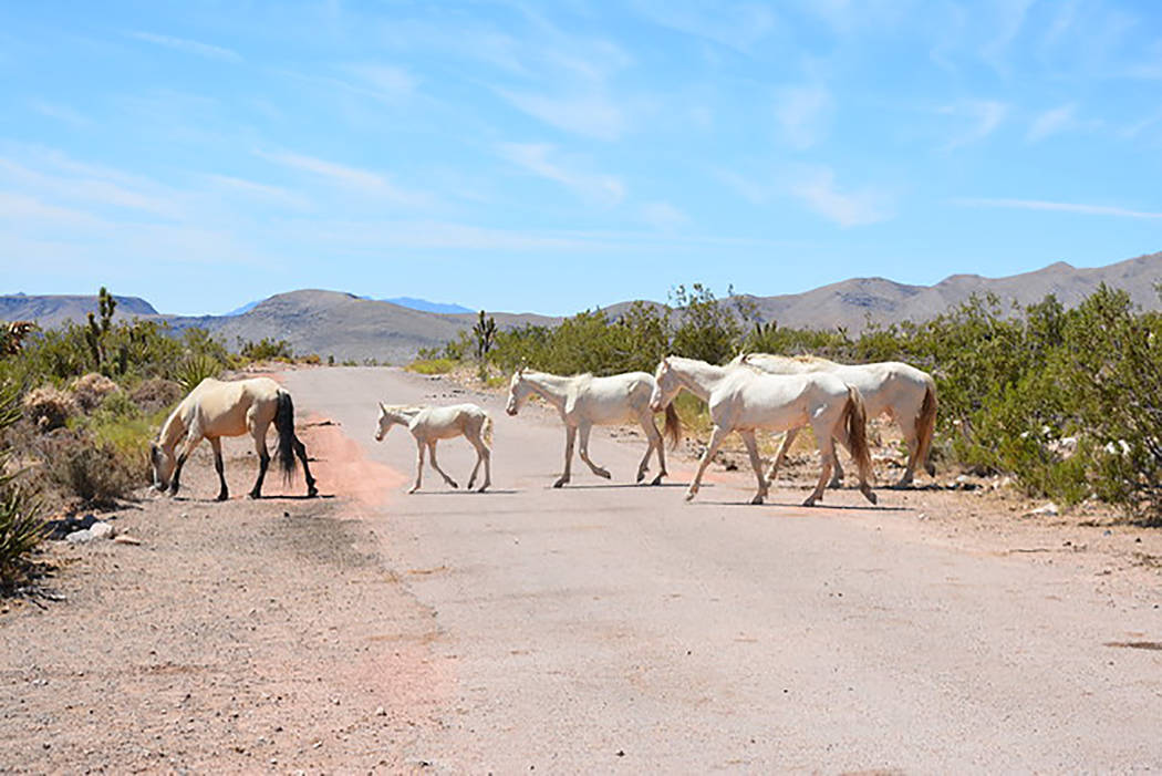 BLM Nevada The Red Rock Herd Herd Management area, which encompasses nearly 162,000 acres, is m ...